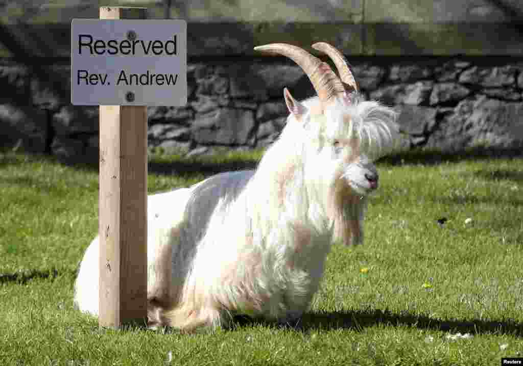 A goat sits by a reserved sign in Llandudno, Wales, Britain. A herd of Kashmir goats has invaded a Welsh seaside resort after the coronavirus lockdown left the streets deserted. The animals have spent the past three days feasting on garden hedges and flowers.