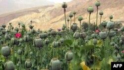Afganistan'da haşhaş tarlası