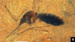 Smithsonian Scientists Find Fossil of Ancient Blood Engorged Mosquito