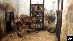 Melani saat masih berada di Kebun Binatang Surabaya, April 2013, tempat ia menderita gangguan pencernaan serius selama lima tahun.