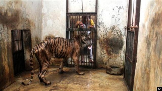 Seorang penjaga Kebun Binatang Surabaya mencoba memberi makan Melanie, harimau Sumatera betina yang kurus kering karena sakit. (Foto: AP)