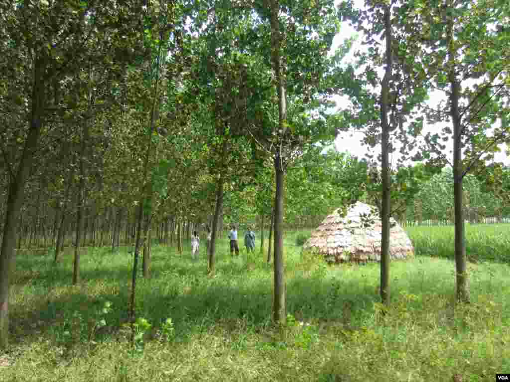 Poplar trees planted on farm near the town of Indri in India's Haryana state. (Aru Pande/VOA)