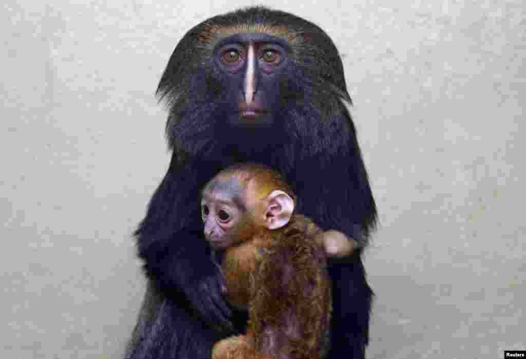 Jimmel, một con khỉ mặt cú, với con nhỏ một tháng tuổi ngồi trong lòng tại vườn thú ở Antwerp, Bỉ.