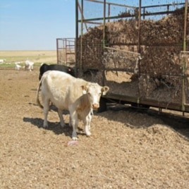 "The drought has raised the price of every type of cattle feed, including ""gin trash,"" unwanted parts of the cotton plant produced as a by-product of the region's many cotton gins."