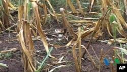 Chương trình Lương thực Thế giới nói Khí hậu biến đổi ảnh hưởng đến canh tác dẫn đến gia tăng nạn đói kém
