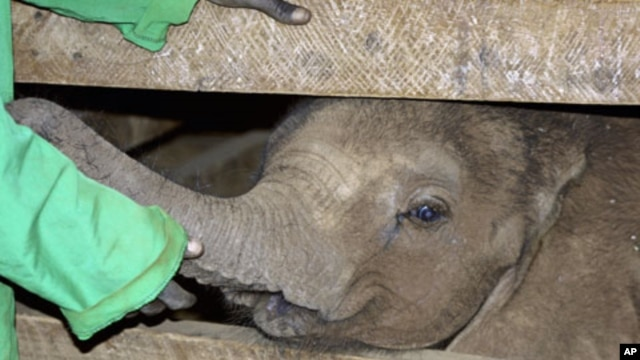 A caretaker attends to a five-month-old abandoned elephant named Nchan at the David Sheldrick Wildlife Trust headquarters and elephant orphanage in Kenya's capital, Nairobi, August 2009. (file photo)