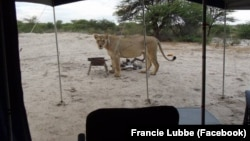 Francie Lubbe took this photo of a lion when it visited her campsite in South Africa.