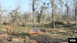 Pohon-pohon kapuk yang dibabat untuk dijadikan pabrik pengolahan nikel di Situbondo, Jawa Timur. (VOA/Petrus Riski)