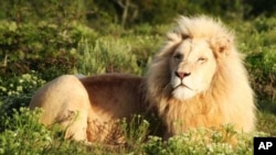 A male white lion resident on Pumba game park in South Africa's Eastern Cape region