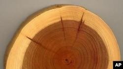 درختوں کے تنوں کے حلقے گزشتہ موسم کی کہانیاں سناتے ہیں