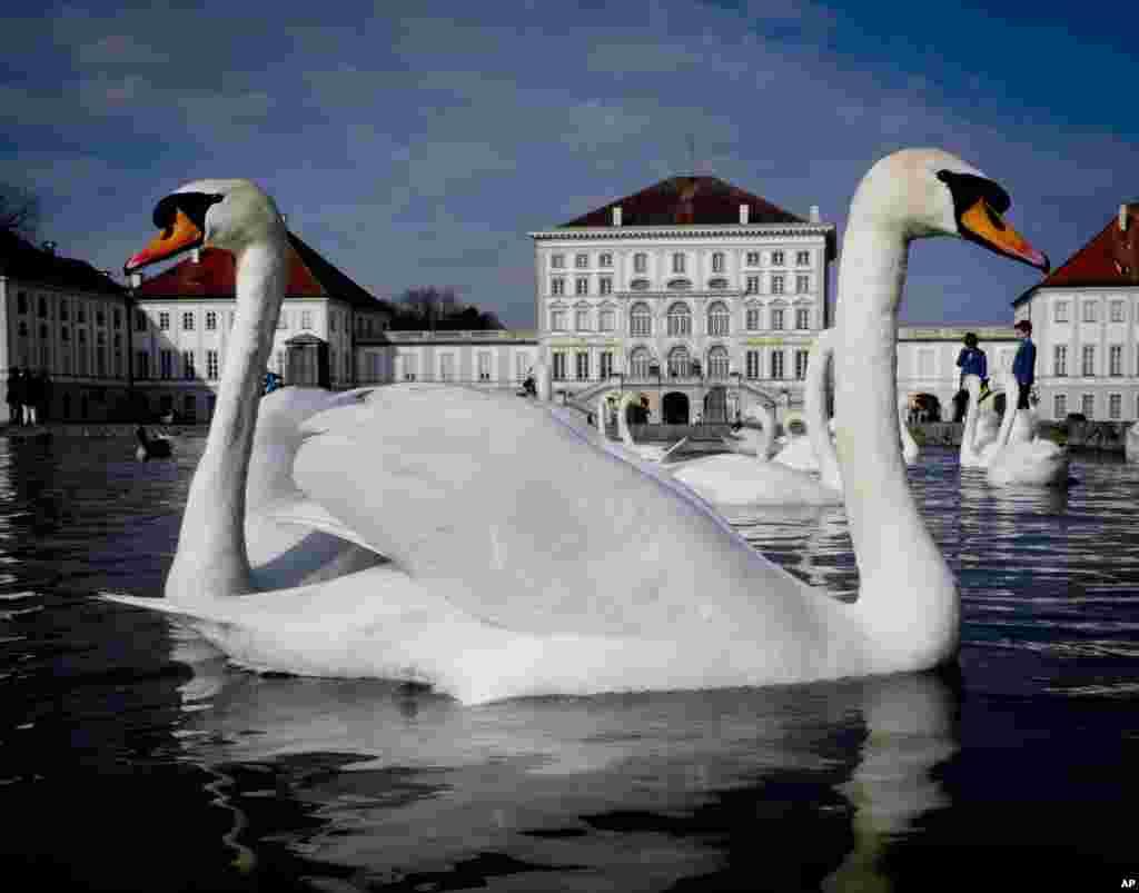 សត្វស្លាបមួយប្រភេទដែលស្រដៀងនឹងក្ងាន លេងទឹកនៅក្នុងស្រះតូចមួយនៅក្នុងប្រាសាទ Nymphenburg ក្នុងក្រុង Munich ប្រទេសអាល្លឺម៉ង់។
