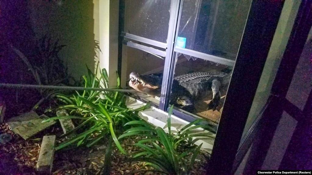 Аллигатор изображен после того, как он ворвался в дом в Клируотере, штат Флорида, 31 мая 2019 года, на этой фотографии, взятой из социальных сетей.