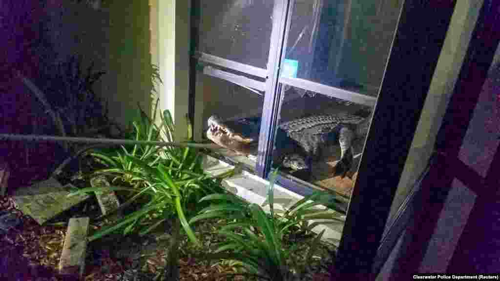 An alligator is pictured after it broke into a house in Clearwater, Florida, May 31, 2019, in this photo taken from social media.