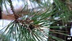 미국 뉴저지주 멘체스터 시의 소나무. (자료사진)