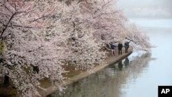 El Tidal Basin, la laguna rodeada de cerezos en Washington D.C., en el área del Monumento a Thomas Jefferson está bajo la responsabilidad del Servicio Nacional de Parques.