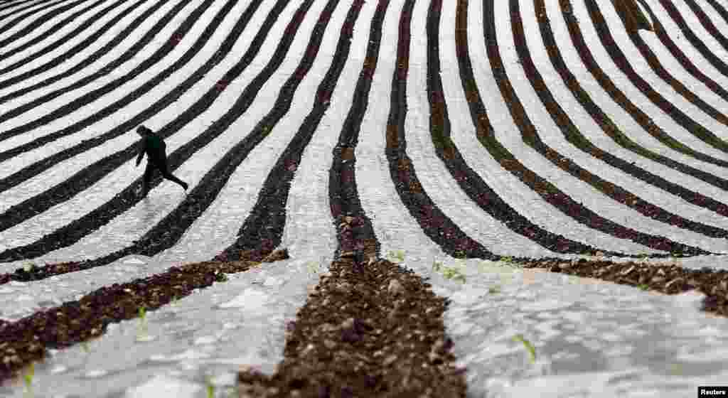 A man walks through a field of maize, planted under a film of biodegradable plastic which raises the soil temperature at the start of the season, near the city of Londonderry, Northern Irealand.