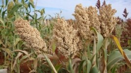 Sorghum is a drought-tolerant staple food used for porridge and baking bread. Increasing costs of imported barley have driven breweries to look to sorghum as an alternative for brewing beer.