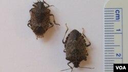 Các con bọ hôi màu nâu sọc cẩm thạch dài khoảng 1-2cm. (VOA/T. Banse)
