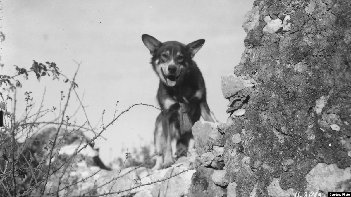 Us Army Dog Recognized For Heroic Action During World War Ii