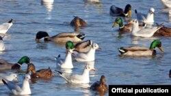 Prema ovogodišnjem popisu u Srbiji zimuje oko četvrt miliona ptica vodenih staništa, Foto: DZPPS