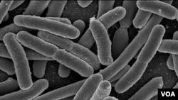 """Bakteri perusak makanan seperti Escherichia Coli ini diharapkan bisa dibasmi dengan virus """"phage""""."""