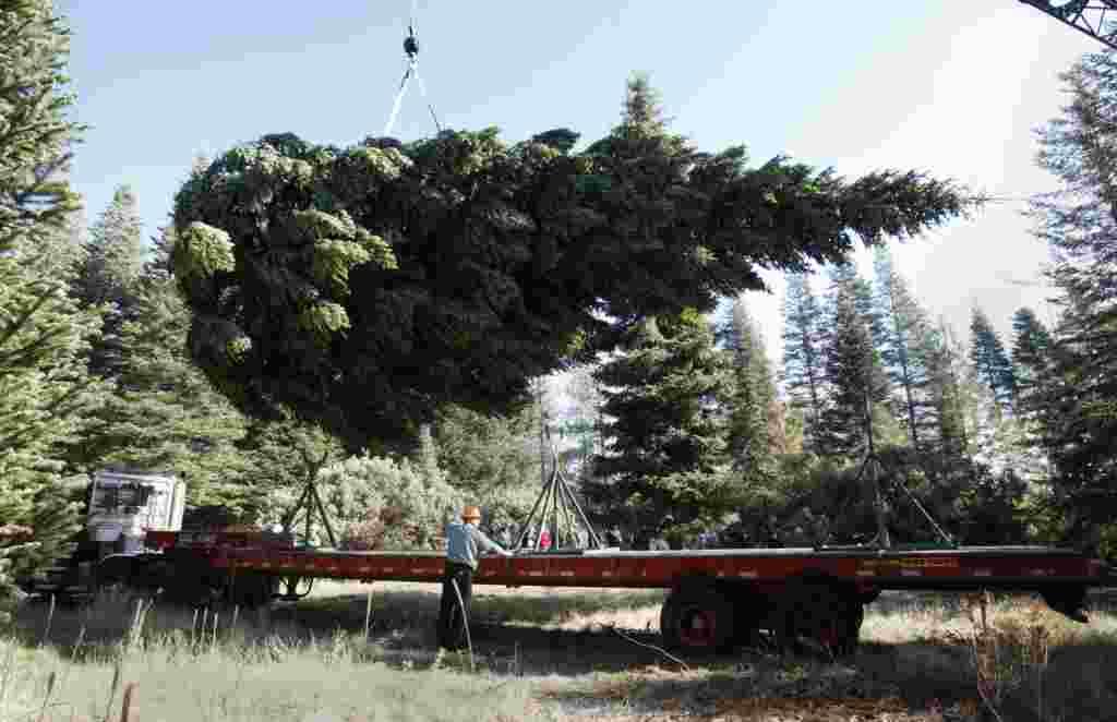 کارگران این درخت صنوبر را به صورت افقی روی کامیون قرار می دهند