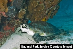 A sea turtle at Biscayne National Park