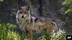 Grupos ambientalistas y científicos han pedido a los administradores de la vida silvestre en Estados Unidos nuevos planes para garantizar la supervivencia del lobo mexicano en el suroeste del país.
