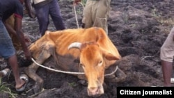 Many cattle are succumbing to the devastating drought in Matabeleland region.