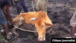 An estimated 7,000 cattle have succumbed to severe drought in the past four months.