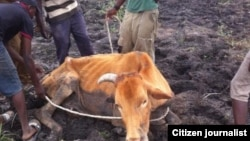 Thousands of cattle are being decimated by drought in most parts of Zimbabwe. (File Photo)