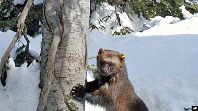 This remote camera photo of a wolverine was taken in the Okanogan National Forest  in Winthrop, Washington.