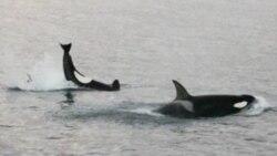 캘리포니아 남부 고래떼 출현