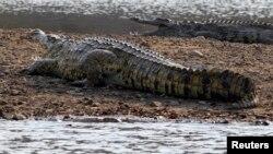 Un crocodile se promène à Cahora Bassa dam dans la province de Tete où le joueur a été attaqué, au Mozambique, le 22 septembre 2010. (Photo d'illustration)