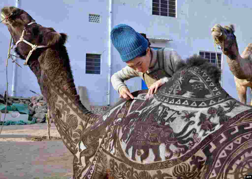 Japanese hairdresser Megumi Takeichi cuts patterns into the hair of a camel ahead of the Bikaner Camel Festival in the northern Indian state of Rajasthan.
