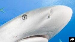 Značenje lijeve i desne nosne šupljine iz perspektive morskih pasa