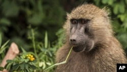 FILE - A baboon feeds on plants in Lake Manyara National Park on the outskirts of Arusha, northern Tanzania.