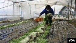 Bencana tsunami di Jepang juga menghancurkan pertanian akibat tanah pertanian yang terkontaminasi air garam (foto: dok).