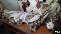 افزایش شکار پرندگان کمیاب سبب نگرانی اداره حفظ محیط زیست بامیان و فعالان محیط زیست شده است.