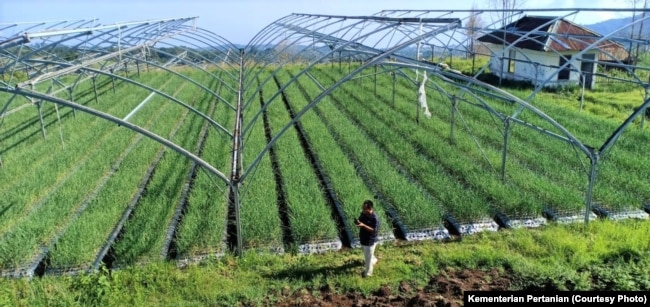 Indonesia melipatgandakan produksi bawang putih melalui program panen untuk benih sejak 2017. (Foto: Kementan)