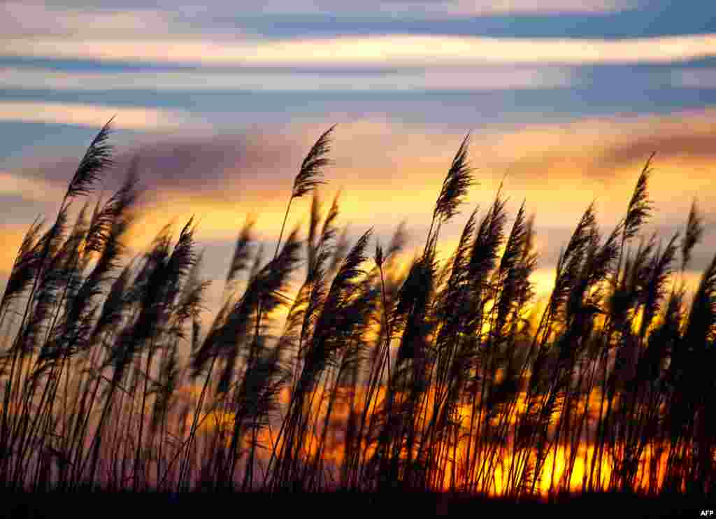 The sun sets over a field of reeds near Briesen, eastern Germany.