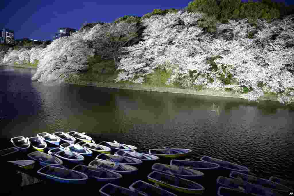 Boats are tied up at a moat near blooming cherry blossoms at Chidorigafuchi at night in Tokyo, Japan.