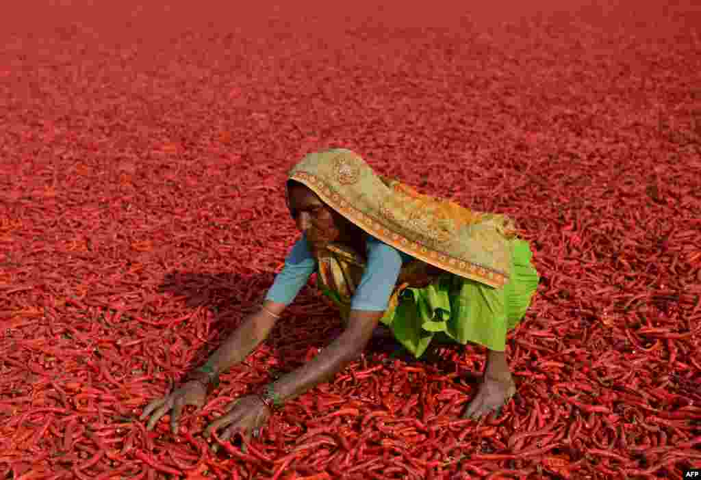 An Indian farm laborer dries newly-arrived chillies at a farm in Sertha, some 25 kms from Ahmedabad. Farm owner Jivanlal Patel says crop yields are down following unseasonal rains and global warming, which has has pushed the price of chillies up by half in the last year.