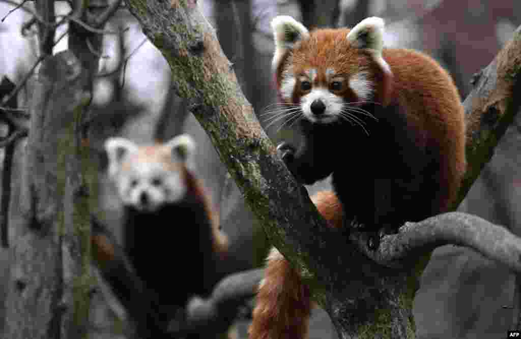 Two Red Pandas climb trees in their enclosure in Berlin's Tierpark zoo, Germany.