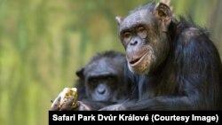 Chimpanzees at Safari Park Dvůr Králové in Dvůr Králové nad Labem, Czech Republic.