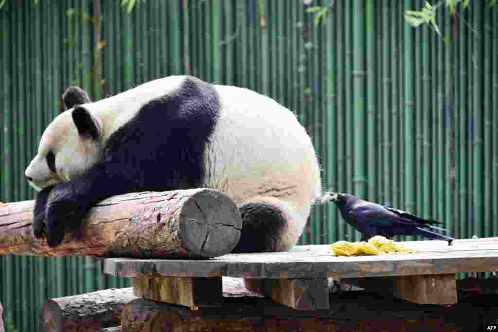A crow pulls fur from a giant panda to use for nesting, at the Beijing Zoo in Beijing, China, April 9, 2018.