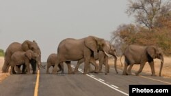 South Africa, Elephants crossing a road.