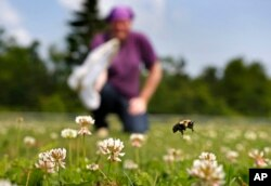 Volunteer Shaina Helsel prepares to capture a bumblebee on a field in Togus, Maine, July 10, 2015.