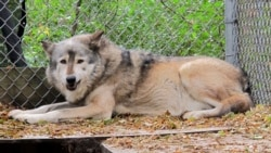 File photo: A timber wolf named Comet is seen at the Timber Wolf Preservation Society in Greendale, Wis. A coalition of animal rights groups planned to file a lawsuit to stop Wisconsin's fall wolf hunt.