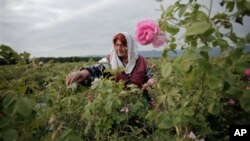A field of roses in Bulgaria, traditionally one of the biggest exporters of high-grade rose oil, along with Morocco and Turkey